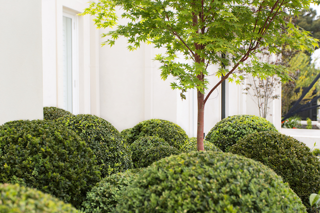 Melbourne Buxus plant balls garden design