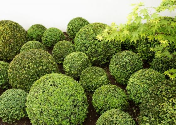 Buxus Sempirvirens plant - great for shaping