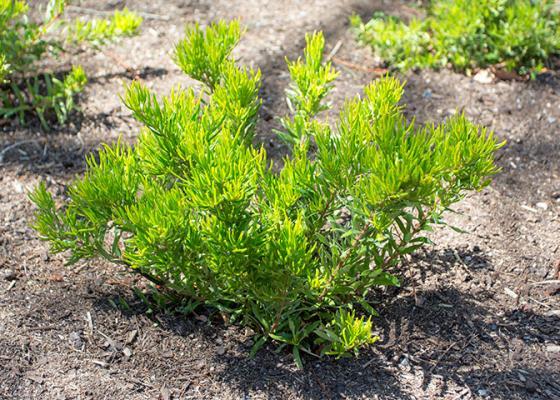 Grevillea 'Bonnie Prince Charlie' plant