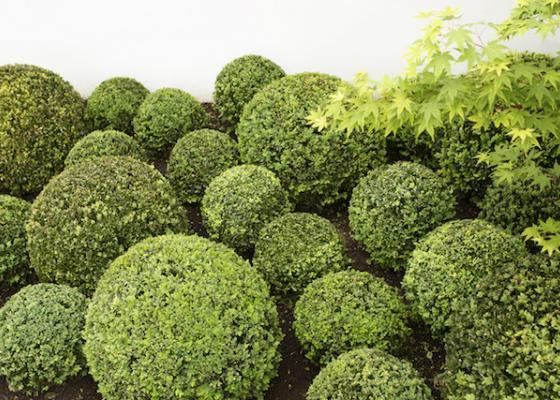 Melbourne Buxus garden design