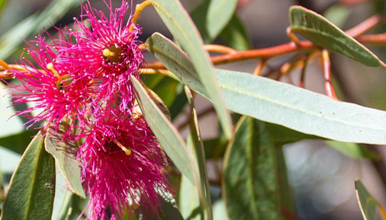 Eucalyptus Leucoxylon 'Euky Dwarf' plant