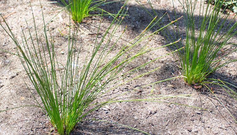 Ficinia Nodosa 'Isolepsis' plant