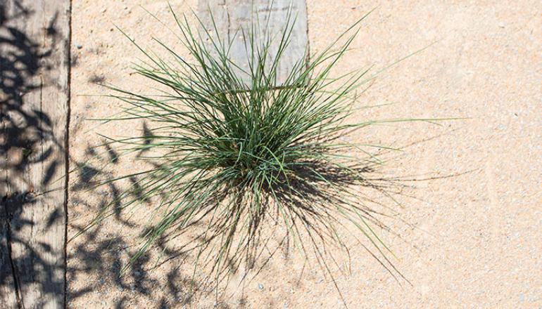 Lomandra plant