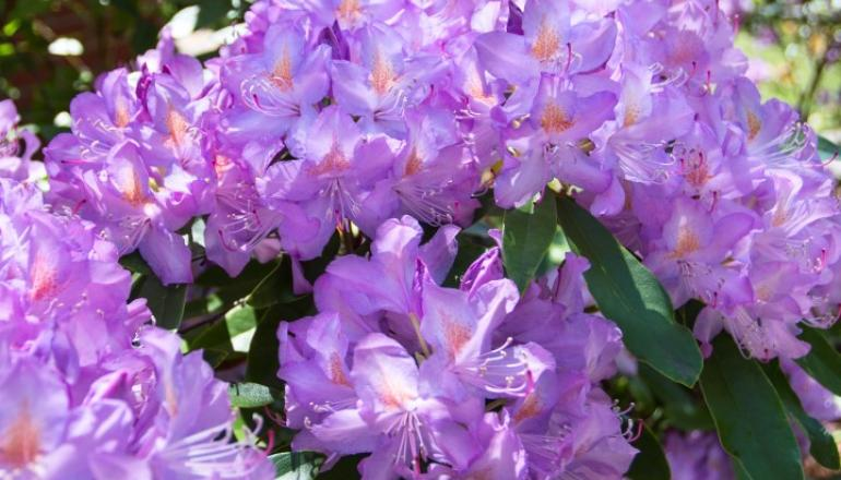 Purple Rhododendron plant