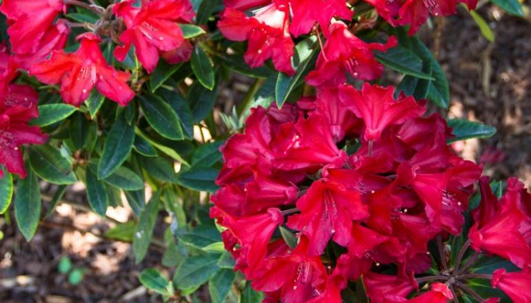 Red Rhododendron plant